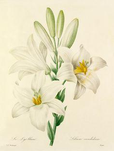 Colour-printed, hand-finished stipple engraving entitled Le Lys blanc : Lilium candidum. From P. J. Redouté's Choix des plus belles fleurs. Creator Redouté, Pierre Joseph (1759-1840) (Artist) Date circa 1827