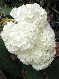 Plant database entry for Rose (Rosa 'Sea Foam') with 21 images, 2 comments, and 39 data details. Hydrangea Quercifolia, Pic Vert, Sea Foam, Geraniums, Landscape, Flowers, Florida, Decoration, Gardens