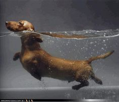 Swimming Dachshund