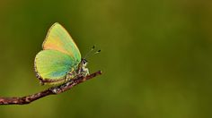 https://flic.kr/p/UTrQDh | Callophrys rubi | The Green Hairstreak
