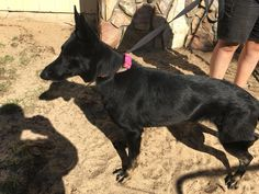 German Shepherd Dog dog for Adoption in Dunnellon, FL. ADN-753592 on PuppyFinder.com Gender: Female. Age: Adult