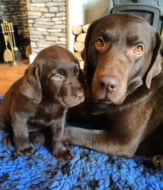 Mother Chocolate Labrador Retriever Dog and her Puppy