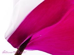 Edler Kunstdruck mit weiß-pinker Cyclamen-Blüte.  Leinwandbild, Fototapete oder gerahmter Kunstdruck