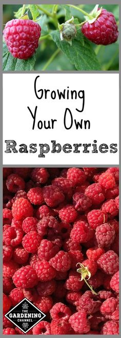 The complete guide to planting and growing your own raspberries. Don't miss these pruning tips for raspberries.