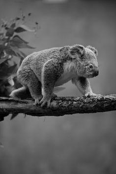 Keep on truckin' little koala!