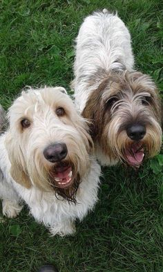Hoi Grand basset griffon vendeen Petit Basset Griffon Vendeen, Griffon Dog, Big Dogs, I Love Dogs, Cute Dogs, Horses And Dogs, Dogs And Puppies, Unusual Dog Breeds, Bassett Hound