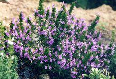ex Vis. Winter Savory, Greek Flowers, Tree Forest, Edible Garden, Flowering Trees, Types Of Plants, Herbal Medicine, Holistic Medicine, Drought Tolerant