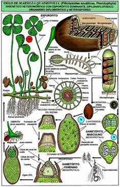 MARSILEA quadrifolia L. (trébol de cuatro hojas, marsílea) | Parc Natural de l'Albufera