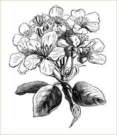 Clip Art Vintage, Vintage Images, Vintage Style, Gravure Illustration, Illustration Art, Botanical Drawings, Botanical Art, Pear Blossom, Pyrus