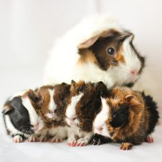 Guinea pig mommy and their babies.....don't they eat the babies???!!