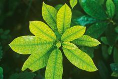 plant with iron deficiency, treat nutrient deficiencies in plants, Handyman magazine