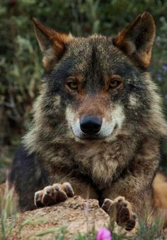 Beautiful wolf by Cowboy.