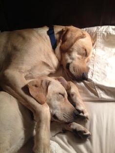 Tank - yellow Labrador Retriever I had to ask my family if they let my dogs on the bed while I was out of town, because these dogs are IDENTICAL to ours!! And they even sleep like this!!! #labradorretriever