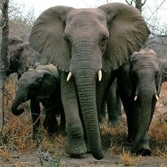Today I learned that 300 elephants in Africa were killed by poachers... just for their tusks.  So very sad...