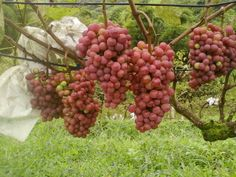 uvas producidas en puriscal san jose c.r donde se supone que no se pueden producir debido a la ubicación geográfica
