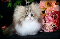 Golden and white teacup Persian Rug Hugger kitten.