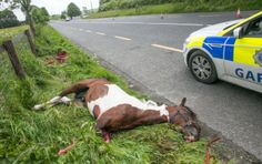 A young horse lies dead on the side of the Kilkenny to Waterford Road after an accident. The young horse was still alive after the accident but had to be put down by the vet. Photo: Pat Moore.