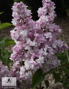 Syringa 'Rose de Moscou' ® PBR - Lilak pospolity 'Rose de Moscou'  Panicle large, dense, erect, to 30 cm high blooms profusely in May. He likes the position of the sun, soil humus. It tolerates drought, has a high resistance is air pollution. On sunny positions. Variety recommended for home gardens, planting urban, residential, planted singly, in groups szpalerach, in the form of natural hedges.