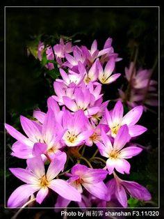 Purple Narcissus Flower | Thread: Fall narcissus flower~~ Narcissus Flower, Good Morning Images, Halloween Themes, Purple Flowers, Tattoo Inspiration, I Tattoo, Bouquet, Fall, Plants