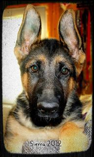 German Shepherd #Puppy
