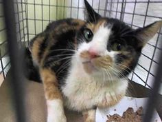 TO BE DESTROYED 12/18/13 Manhattan Center  My name is MANDOLAI. My Animal ID # is A0987323. I am a female calico and white domestic sh mix. The shelter thinks I am about 6 YEARS old. https://www.facebook.com/photo.php?fbid=715290161816152&set=a.576546742357162.1073741827.155925874419253&type=3&theater