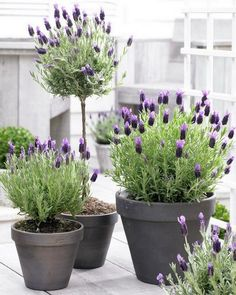 Spanish Lavender in Pots.I didn't even know there was a Spanish Lavender and now I must have some!i actually like this as a topiary. Beautiful Gardens, Beautiful Flowers, Spanish Lavender, Pot Jardin, Bloom, Topiary, Garden Pots, Garden Shrubs, Garden Web