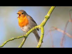 Лечение птичьим щебетом: Пение птиц в роще. Гармонизация психики и всех систем организма - YouTube