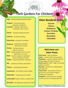 My Top Herb Choices For Chicken Care If I could only grow a few herbs I would choose Mint, Oregano, Basil, Thyme, Lavender and Sage. As far as chicken keeping and animal care needs, Sage and Oregano are great for intestinal health and to ward off infections from Salmonella and Coccidiosis. (cocci) Lavender is an all around great herb for infections, relaxation, odor control, and repels pests. Mint also repels insects and rodents, is a stimulant for egg laying, and the chickens love it…