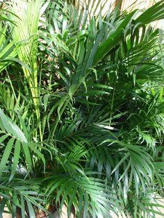 http://jungletropicale.com/2013/03/chamaedorea-cataractarum/    #jardinage #palmiers    Cliquez l'image pour lire l'article.