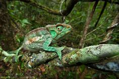 AH-Parsons-Chameleon-Calumma-parsonii-8927.jpg 880×587 pixels