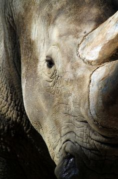Rhino's don't see very well that is why they are so easily slaughtered by poachers. Their existance depends on the human race....it's bad.