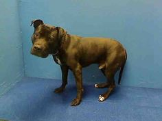 GONE RIP 6/5/13 Brooklyn Center TANK A0966364 Male black pit bull mix 3 YRS HELP! This handsome pup landed in the ACC as a result of his owner's arrest. It's bad enough he was pulled from his home thrown into the ACC – but now his is on tonite's TBD list & he must have a home to go to or he will die due to his owner's misfortunes PLS share Tank tonight for adopter/foster https://www.facebook.com/photo.php?fbid=615949815084568=a.611290788883804.1073741851.152876678058553=1