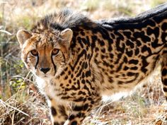 King cheetahs have a genetic mutation, and are not a separate species from other countries Beautiful Cats, Animals Beautiful, Cute Animals, Wild Animals, Baby Animals, Rare Cats, Exotic Cats, Big Cats, Cool Cats