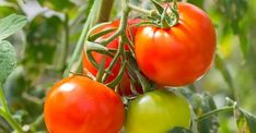 Juicy and sweet, fresh #tomatoes are a delicious addition to #salads, while the canned variety can be used to make #delicious sauces for pasta dishes, stews and curries. But did you know that tomatoes also pack a whole host of #health benefits too? #PopularFood Health Benefits Of Tomatoes, Fruits And Vegetables, Veggies, Popular Recipes, Popular Food, Kinds Of Diseases, For Your Health, Pasta Dishes, Healthy Life