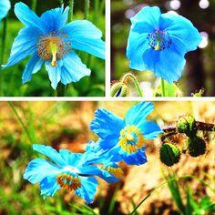 50PCS Persian Blue Poppy Seeds Papaver Somniferum Flower Tibetan Meconopsis NEW #New