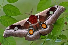 Bunaea alcinoe aka the Cabbage tree emperor moth.