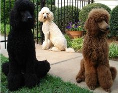Fun Fido Fact: The Poodle is the national dog of France! All hail Le Poodle!