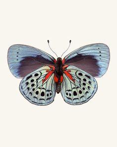 Charles Darwin Butterfly / Callithea philotima. Fine art print by Allison Trentelman | rockytopstudio.com