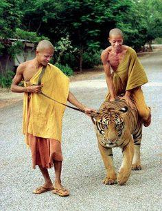 monniken met tijger