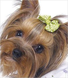 These brightly colored fishtail style bows in polka-dots are nothing short of adorable! Pick your favorite: turquoise, lime green or cherry pink. Puppies And Kitties, Cute Puppies, Cute Dogs, Doggies, Yorkshire Terrier Haircut, Yorkshire Terrier Puppies, Yorkie Hairstyles, Yorshire Terrier, Dog Hair Bows