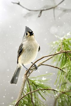 Snowy Songbird by Christina Rollo. Refreshing close-up portrait showing detail of a handsome Tufted Titmouse perched on a pine branch in the snow.  #winter #titmouse #bird #rollosphotos #fineart #photography