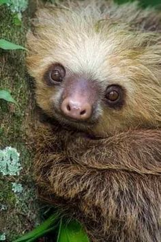 Pictures Of Sloths, Cute Sloth Pictures, Animal Pictures, Happy Animals, Animals And Pets, Two Toed Sloth, Cute Baby Sloths, Cute Photography, Cute Little Animals