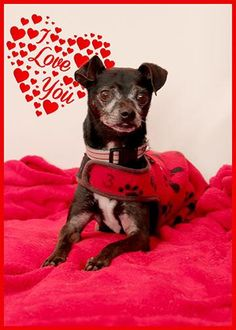 MEET Sylvester, 6 year male old Chihuahua mix has been at the SGHS for four years looking for a forever home. If anyone is looking for a VALENTINE 'S he is available for adoption.