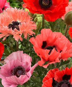 Mixed Exotic Poppy Root - Set of Six by Spring Hill Nursery #zulily #zulilyfinds