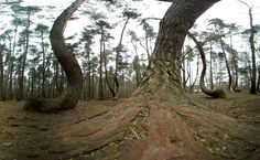 Hundreds of pine trees outside of Gryfino, Poland, have a strange bend, and all point to the north. No one knows for certain why.