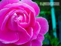 Una rosa muy bella que nace de los jardines de las majestuosas casas coloniales de Santa Fe De Antioquia