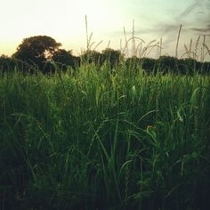 The wheat field behind our house.