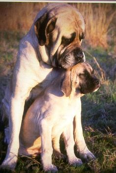 5 of the most massive dog breeds, Everyone knows Breed#01 !