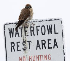 A puffed up American kestral perches on a sign at Farmington Bay Waterfowl Management Area. (Al Hartmann     The Salt Lake Tribune)