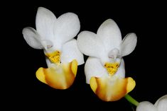 Orchid-Mimicry: Phalaenopsis lobbii - From Vietnam - Flickr - Photo Sharing!